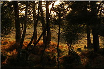 SU2609 : Woodland fringe, New Forest by Jim Champion