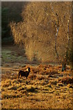 SU2609 : Pony in the bog, Acres Down, New Forest by Jim Champion