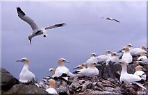 HP5917 : Gannets (Morus bassanus), Humla Stack, Hermaness by Mike Pennington