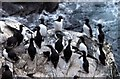 HP5917 : Guillemots (Uria aalge), Hermaness by Mike Pennington