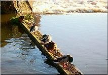 SX9291 : Ducks Preening by Jan Baker