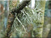NS3778 : A lichen - Ramalina farinacea by Lairich Rig