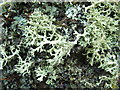 NS4276 : A lichen - Evernia prunastri by Lairich Rig