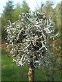 NS3985 : A lichen - Pseudevernia furfuracea by Lairich Rig