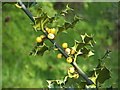 NS3985 : Holly with yellow berries by Lairich Rig