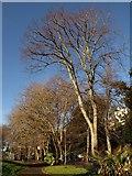 SX9164 : Trees, Upton Park by Derek Harper