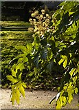 SX9164 : Fatsia in Upton Park, Torquay by Derek Harper
