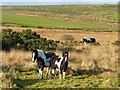 SX2473 : Wild ponies on Bodmin Moor 3 by Jonathan Billinger