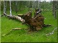 SK2479 : Fallen tree in Bolehill Quarry, Grindleford by James Haynes