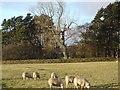 NY8892 : Sheep at Otterburn Mill by Joan Sykes