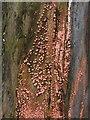 NS3878 : Coral Spot Fungus (Nectria cinnabarina) by Lairich Rig