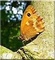 SK2517 : Gatekeeper Butterfly by Brian Webster
