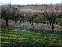 SU7824 : Orchard to the west of Sussex Border Path by Chris Gunns