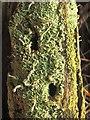 NS3778 : A lichen - Cladonia macilenta by Lairich Rig