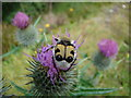 NH2927 : Bee beetle on a thistle in Glen Affric by Dannie Calder