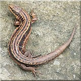 NS3878 : Common Lizard (Zootoca vivipara) by Lairich Rig