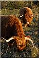 SU4724 : Highland cattle grazing Shawford Down by Jim Champion