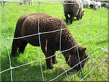 SJ3595 : Coloured Ryeland Lamb, Rice Lane City Farm by Sue Adair