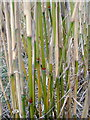 SM9828 : Miscanthus x giganteus stems in close up by ceridwen