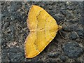 NS8185 : A moth - Yellow Shell (Camptogramma bilineata) by Lairich Rig