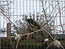 TQ2783 : 2 Green Peafowl (Pavo muticus), 2 sacred Ibises and 1 Black-headed Gull by Sheila Madhvani