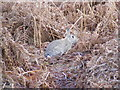 TM2446 : Wild Rabbit on Martlesham Heath by Adrian Cable