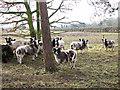 TG1024 : Jacob sheep at Moor Hall Farm by Evelyn Simak