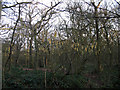 TQ4476 : Early catkins in Oxleas Wood by Stephen Craven