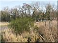 TQ9050 : Broom on Lenham Heath Road by Stephen Craven