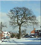 SO9096 : Oak Tree (winter) on Buckingham Road, Penn, Wolverhampton by Roger  Kidd