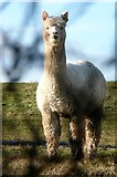 SU6579 : Alpaca at Goring Heath by Graham Horn