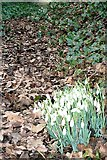 SU6579 : Snowdrops at Ladygrove Farm by Graham Horn