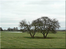 SK6443 : Trees near the Trent by Alan Murray-Rust