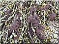 NS3377 : Seaweed - Ascophyllum nodosum, Vertebrata lanosa by Lairich Rig