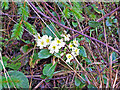 NG4125 : Primrose in the forest by Richard Dorrell