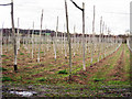 TQ6936 : Hop Field near Little Scotney Farm by Oast House Archive