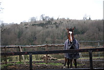 SU7431 : Horse in front of Noar Hill Hanger by N Chadwick