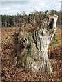 TG1820 : Gnarled old tree trunk by Evelyn Simak
