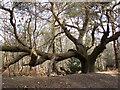 TG1716 : A gnarled old oak by Evelyn Simak