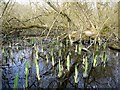 NZ1365 : Flooded willow carr at Clayton's Wood by Andrew Curtis