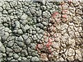 NS3779 : Lichen (Pertusaria pertusa) with fungal parasite by Lairich Rig
