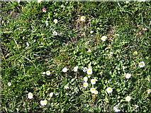 NU0052 : Bright Daisies by Barbara Carr