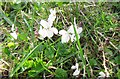 SP9313 : White Violets beside the path at College Lake by Chris Reynolds