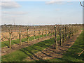 TQ7057 : Orchard at East Malling by Stephen Craven