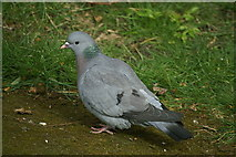 NT2274 : Stock Dove (Columba oenas), Craigleith, Edinburgh by Mike Pennington