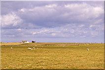 NU1341 : Sheep on pasture, Holy Island, Northumberland by Christine Matthews