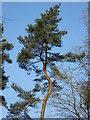 SP8808 : A Kinky Tree by Chris Reynolds