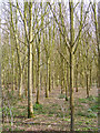 TM3761 : Woodland next to the Bridleway by Adrian Cable