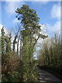 SS8579 : Tall conifer by lane to the north west of Tythegston by eswales