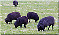 TA0623 : Hebridean Sheep Grazing - Barrow Haven by David Wright